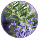 Rosemary Extract for hair