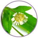 Bhringraj Extract for hair