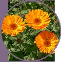Calendula Flower Extract