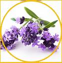 Lavender Hydroso